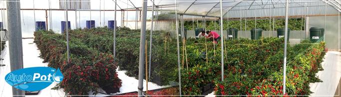 Système d'irrigation automatique sous serre