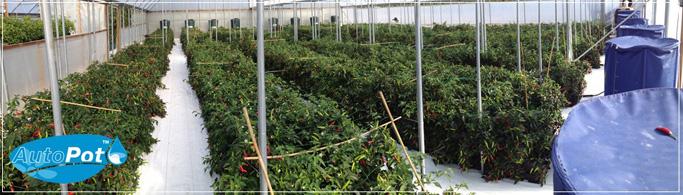 Système d'irrigation automatique en indoor